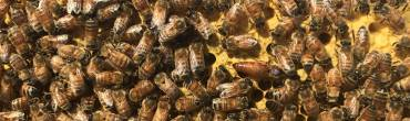 What we do – Nucleus Hives & Queens